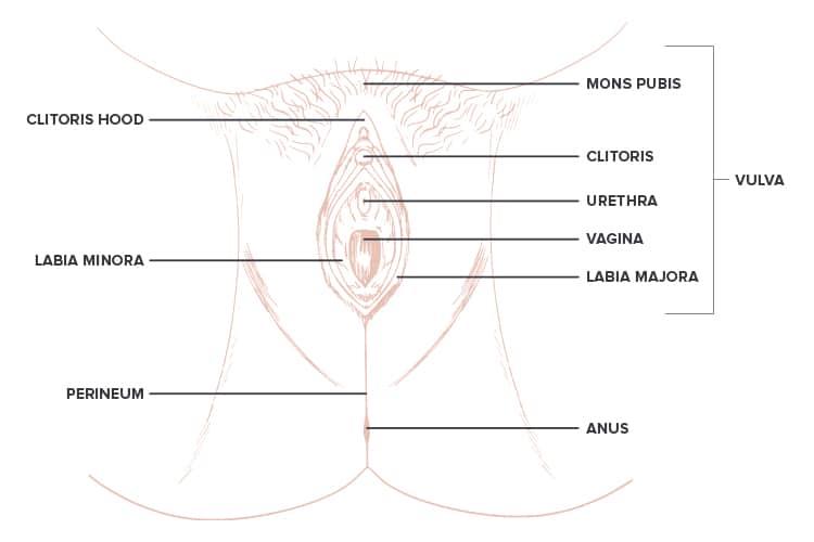 Female anatomy - vagina